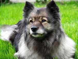Caninsulin.com Keeshond