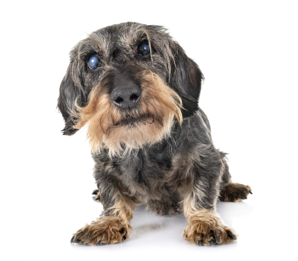 Caninsulin.com dog with visible cataracts