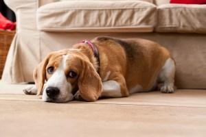 Caninsulin.com beagle laying