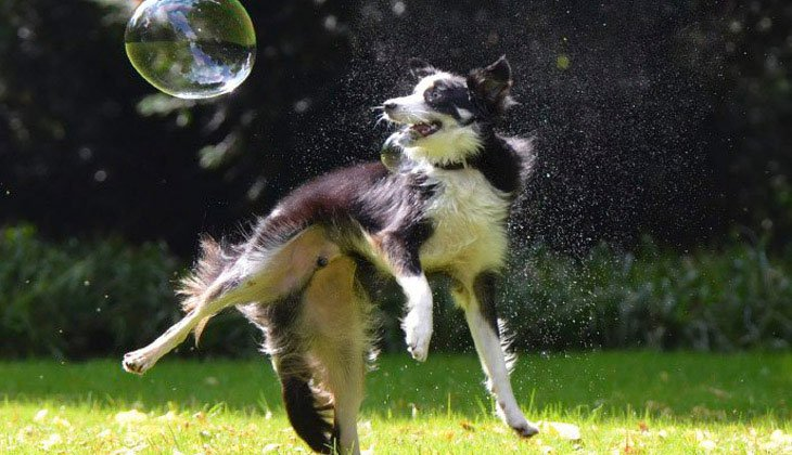 Caninsulin.com Dog playing with bubbles for exercise