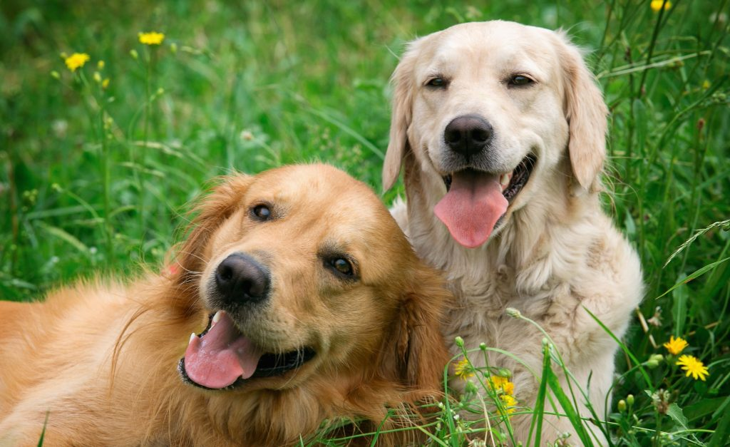 Caninsulin.com Portrait of two young dogs playing in the meadow
