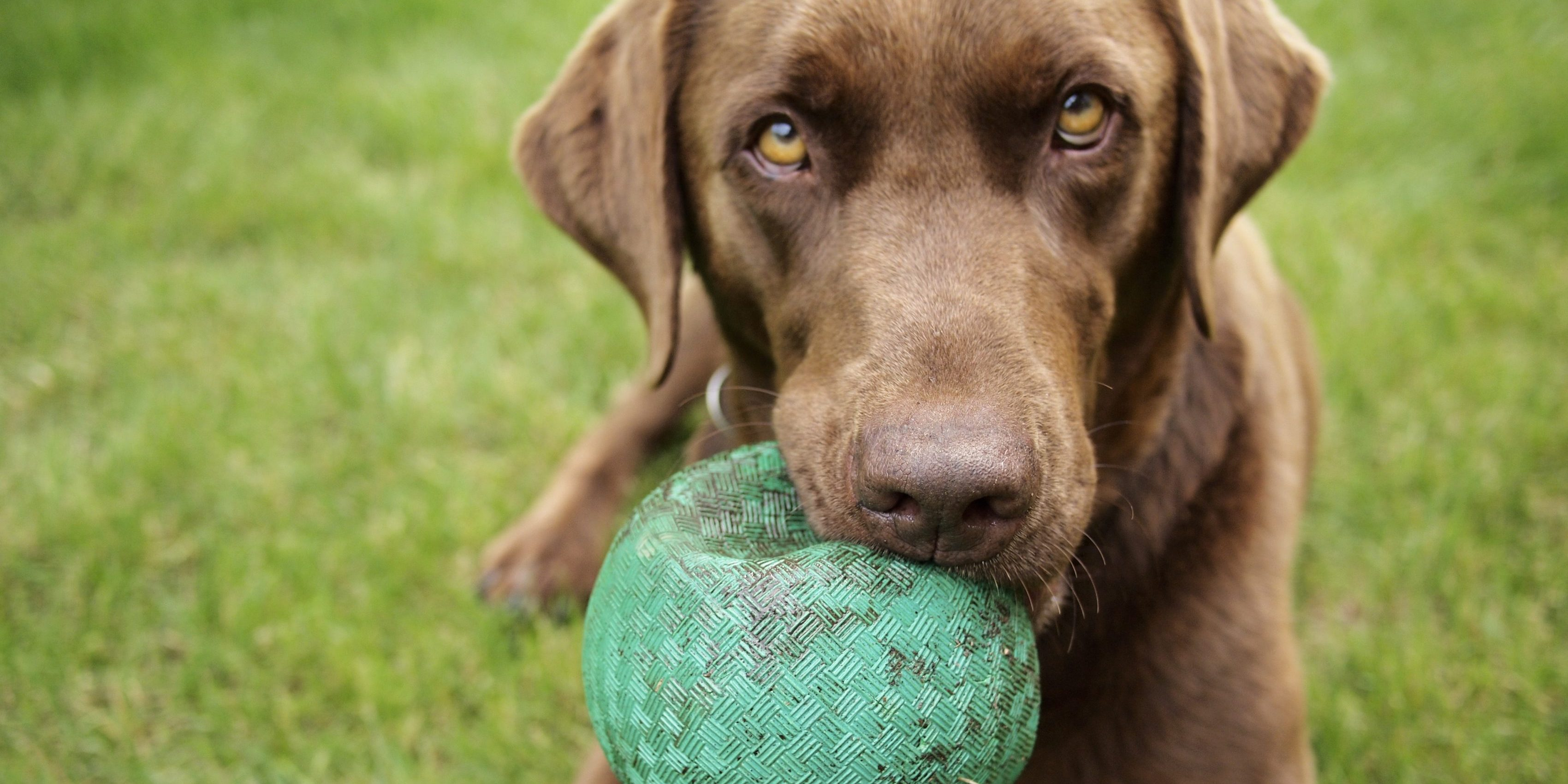 Caninsulin.com A Chocolate Labrador holds a Green Ball