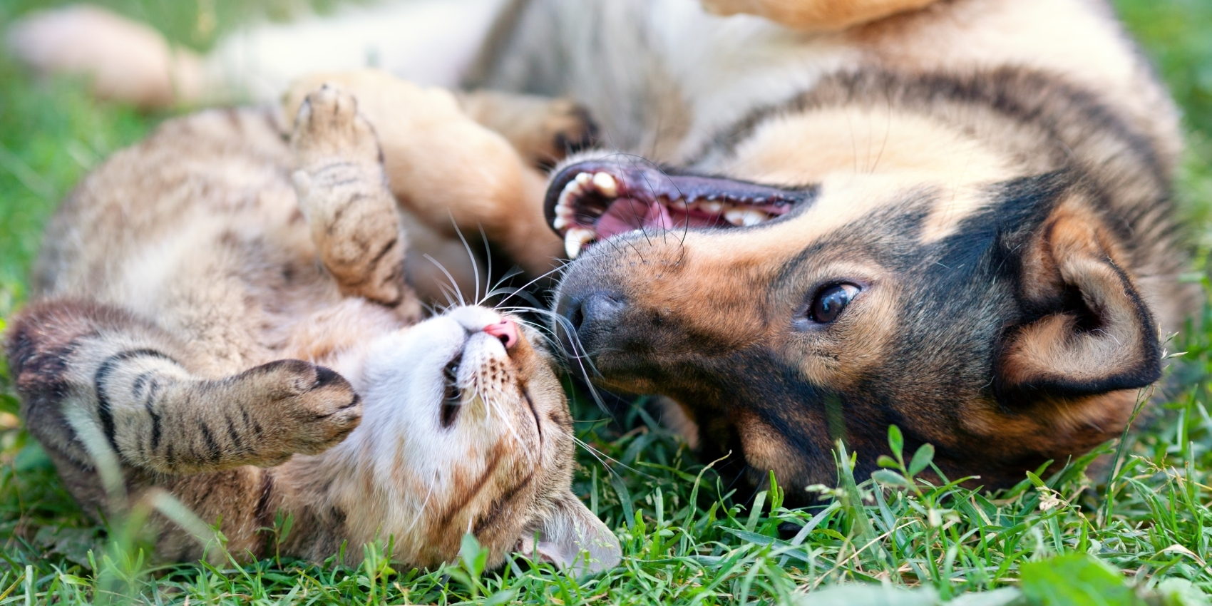 Caninsulin.com cat and dog playing in grass outside