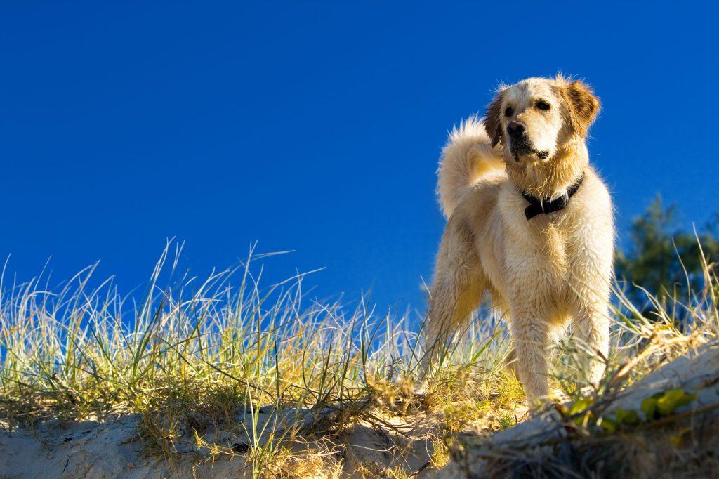 Caninsulin.com Golden retriever in the grass