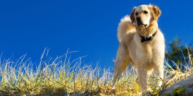 Caninsulin.com dog in field