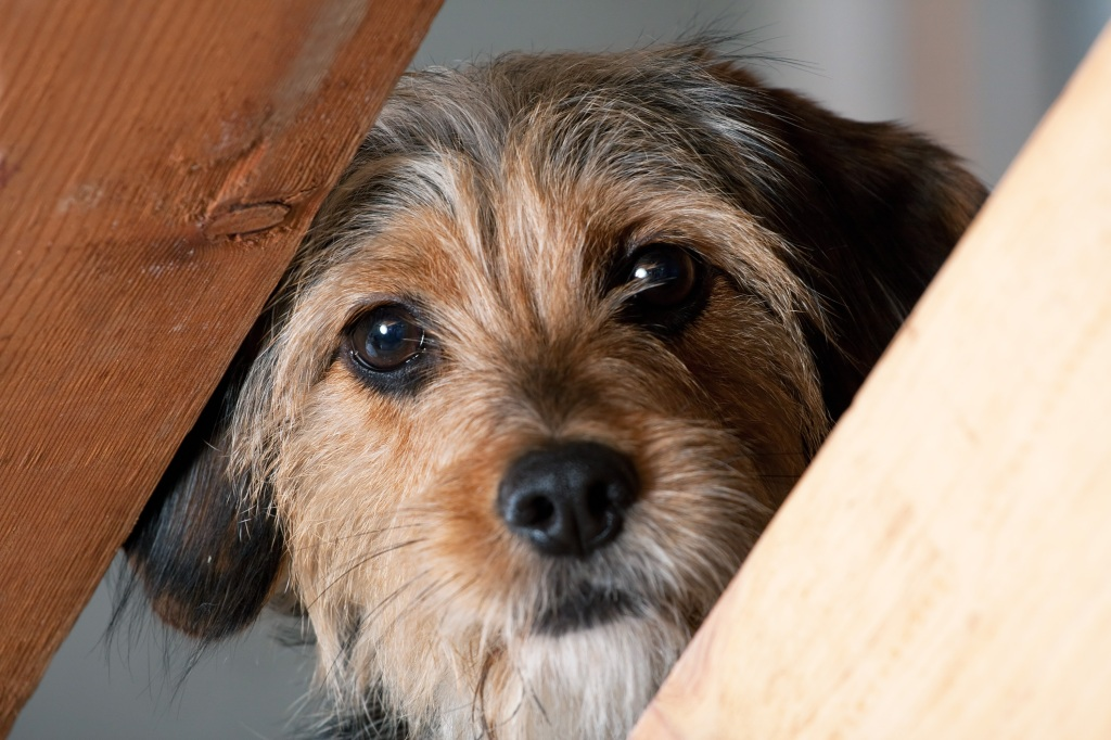 Caninsulin.com Borkie Dog Peeking Through a Gap