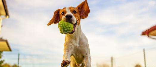Caninsulin.com dog exercising
