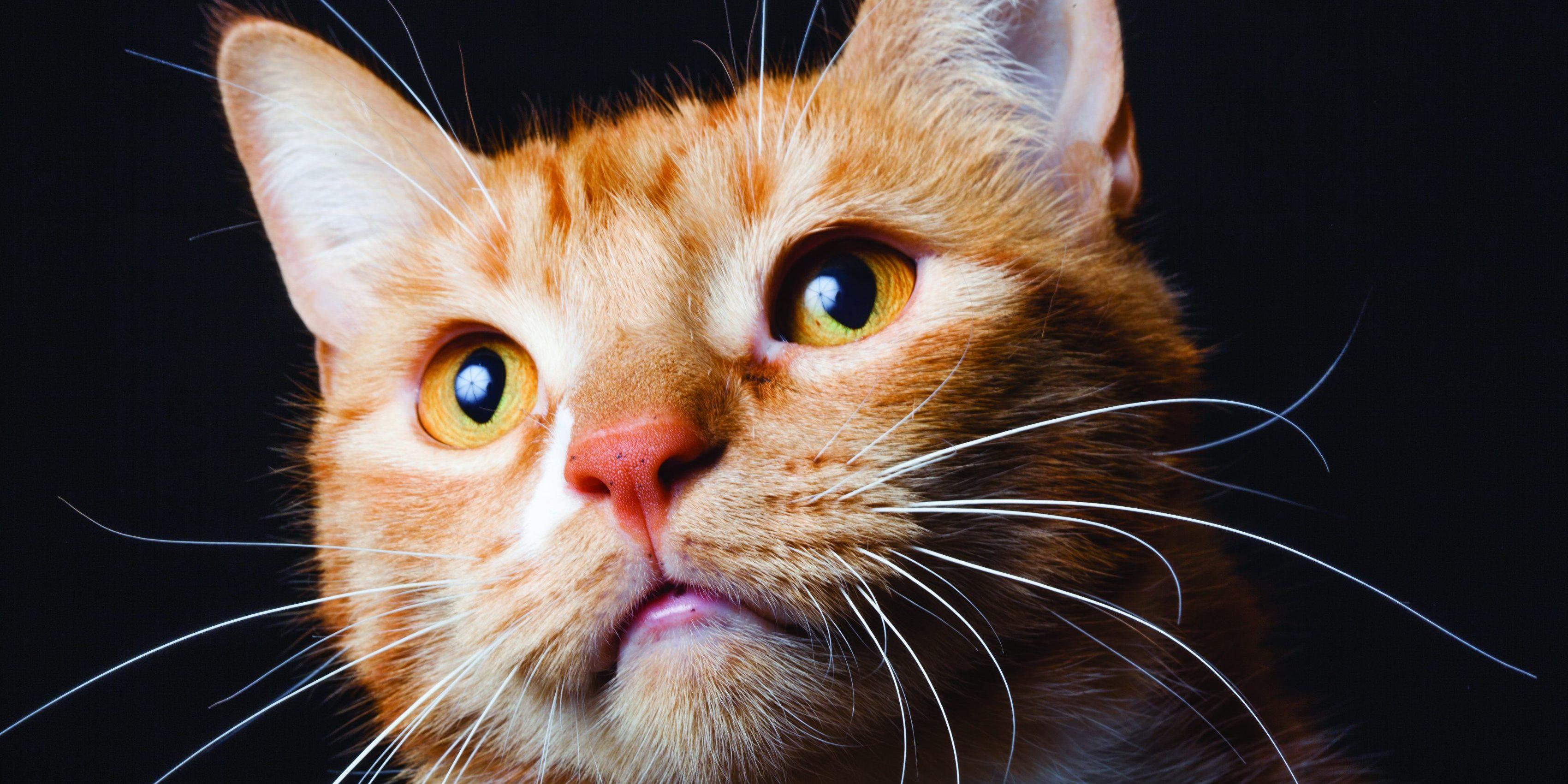 Caninsulin.com Red Cat