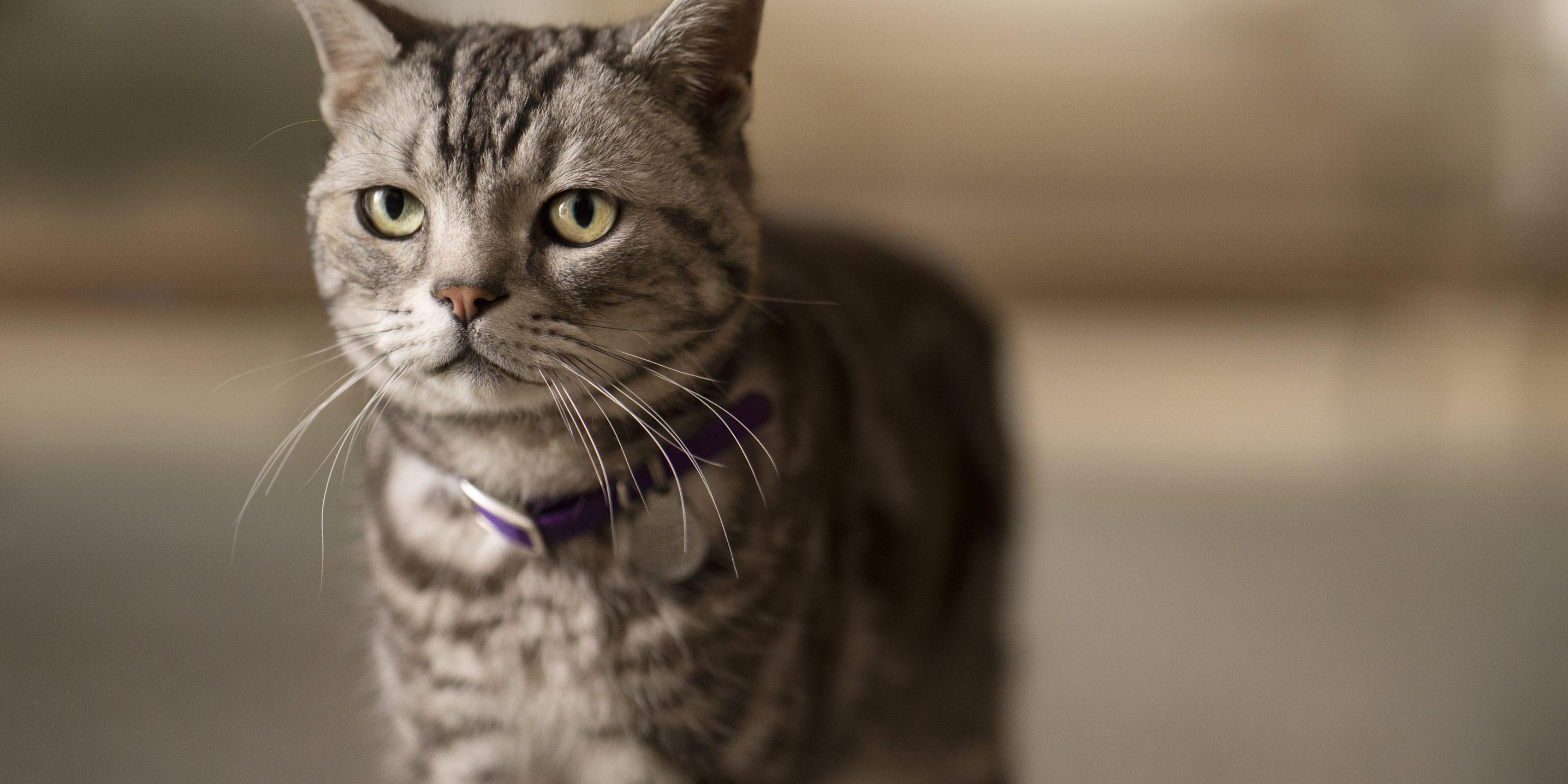 Caninsulin.com grey cat