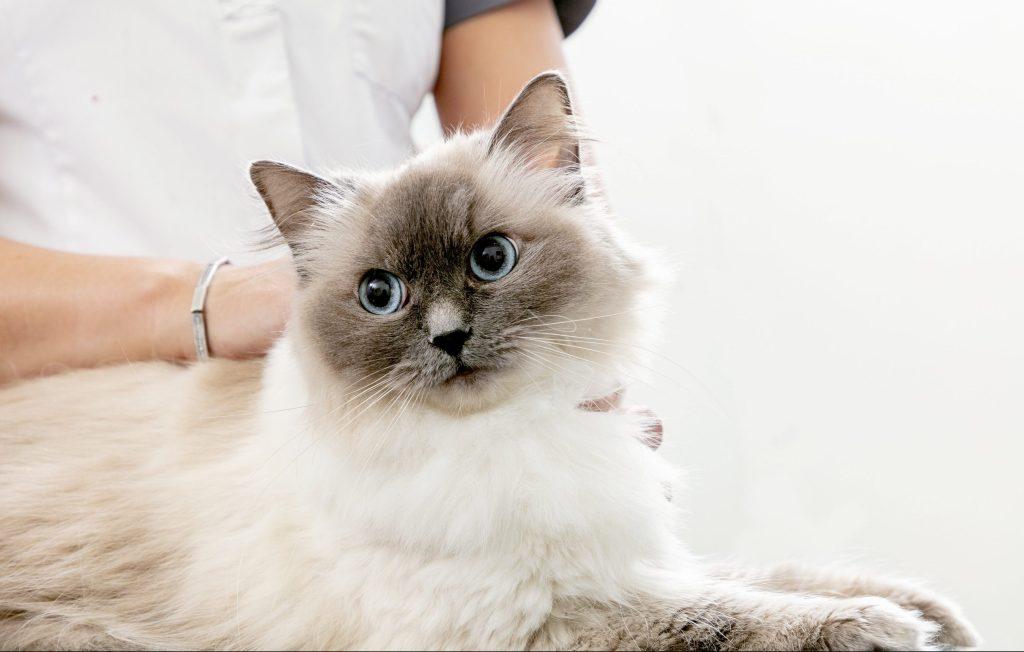 Caninsulin.com Cat at vet