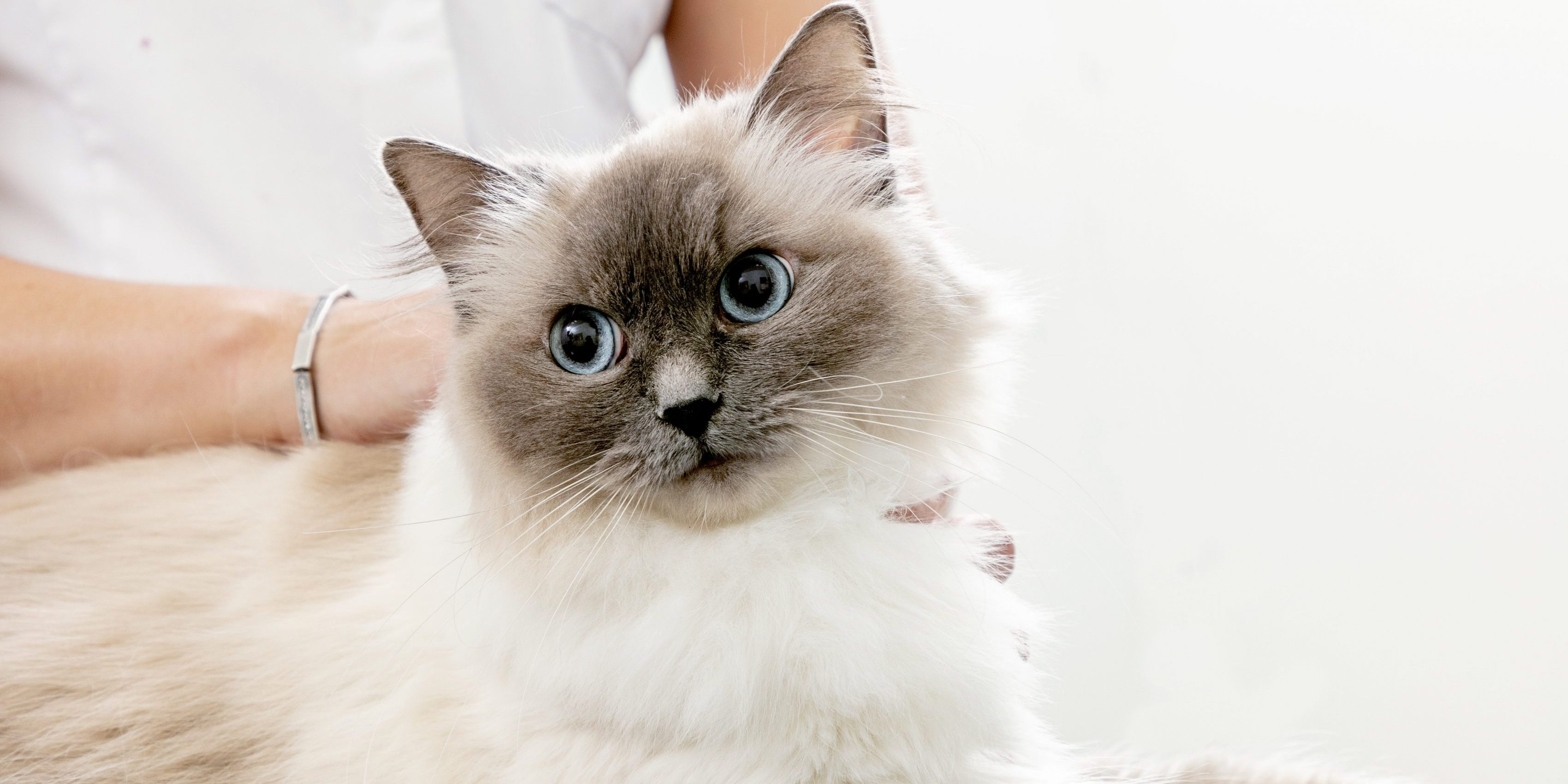 Caninsulin.com white cat at vet