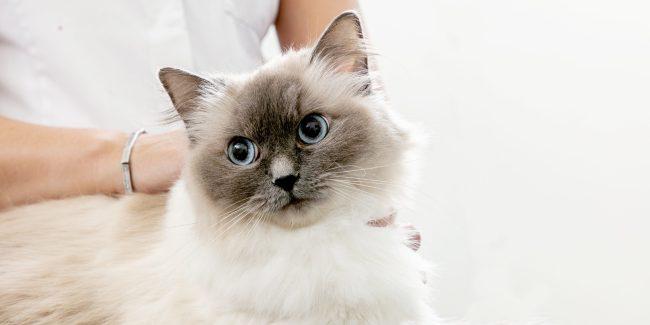 Caninsulin.com Cat