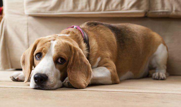 Caninsulin.com beagle laying on the floor