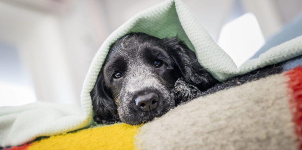 Caninsulin.com dog laying under blanket