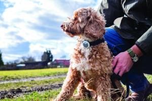 Caninsulin.com dog using Sure PetCare Animo collar