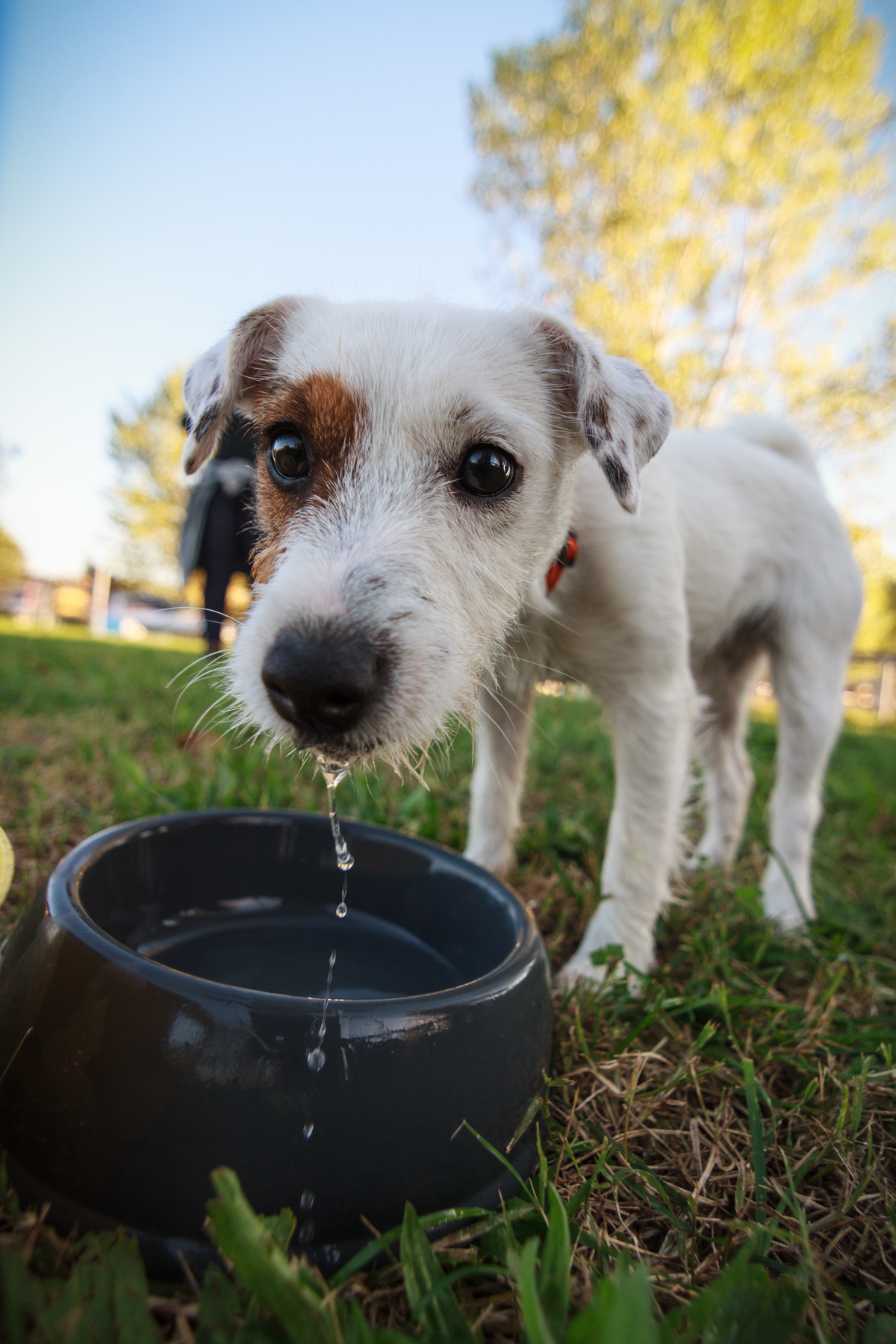 Caninsulin.com dog drinking from a water bowl