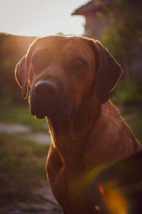 Caninsulin.com dog