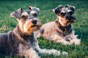 Caninsulin.com two schnauzer dogs